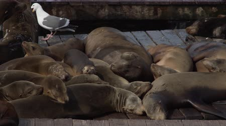 kürk : View of a colony of California sea lions (Zalophus californianus) at pier 39 near fishermans wharf.
