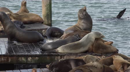 yüzgeç : View of a colony of California sea lions (Zalophus californianus) at pier 39 near fishermans wharf.