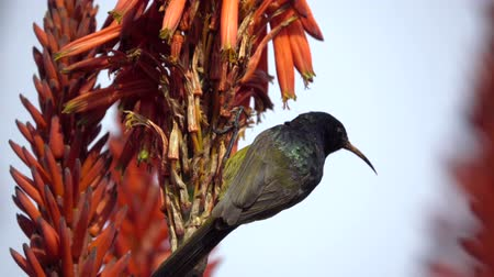 violacea : Scene of Orange Breasted Sunbird feeding on Red Aloe nectar