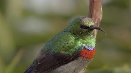 violacea : View of Greater Double-collared Sunbird perched on branch