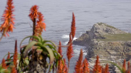 Scene of Red Aloe in foreground near Dias beach