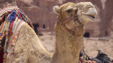 aqaba : Medium profile of camel with colorful saddle