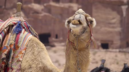 Funny view as camel chews cud while looking at camera Stock Footage