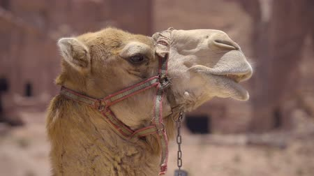 aqaba : Close up shot of the side of a camels head