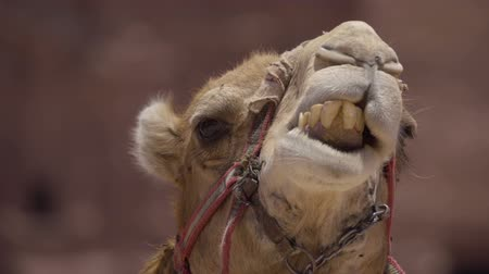 aqaba : Extreme close up of a camel while chewing
