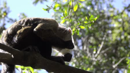 guyana : View of young Capuchin monkey eating in a tree Stock Footage