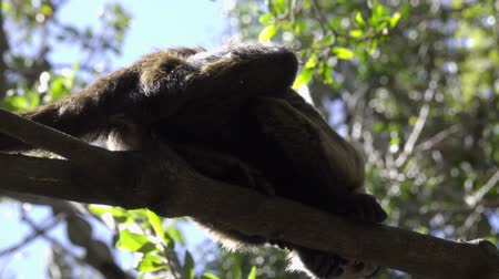 guyana : Scene of a young Capuchin monkey in a tree Stock Footage