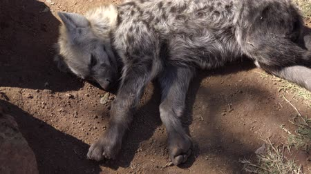 voracious : View of a young hyena resting in the shade Stock Footage