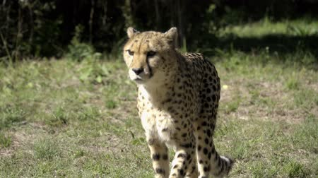 prowl : Panning view of a cheetah on the prowl