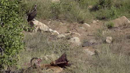 barbatus : View of a vulture perched near a dead Impala Stock Footage