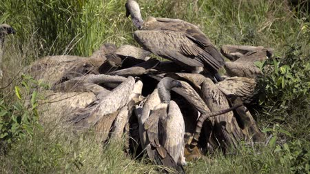 gruesome : View of a gruesome frenzy of vultures tearing flesh off a dead impala
