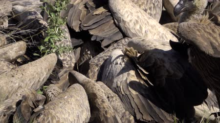 carrion : View of flock (wake) of vultures scrambling for meat