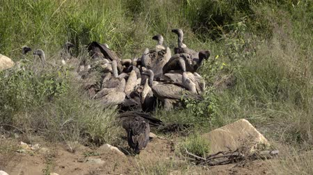 barbatus : A wake of vultures fighting for dead meat