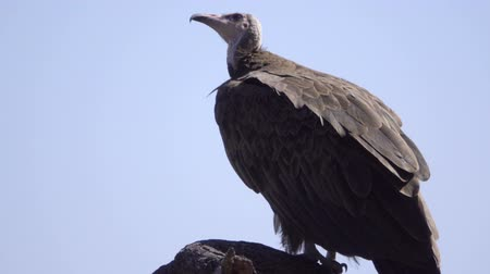 barbatus : View of an alert hooded vulture