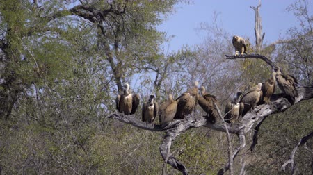 barbatus : Scene of a Tawny Eagle and commitee of vultures