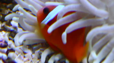 Clownfish in white anemone Stock Footage