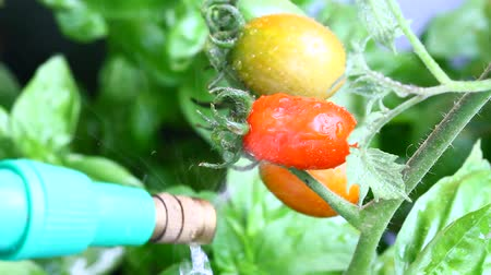 watering plant of tomatoes