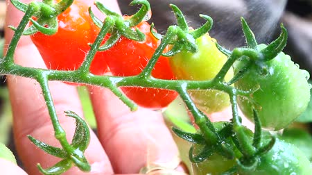 Watering plant of tomatoes Stock Footage