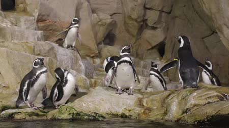 pinguim : group of penguins at the aquarium