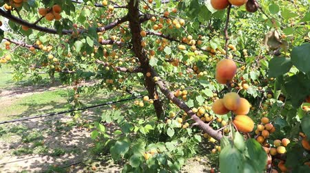 apricots tree in the orchad in a sunny day Stock Footage