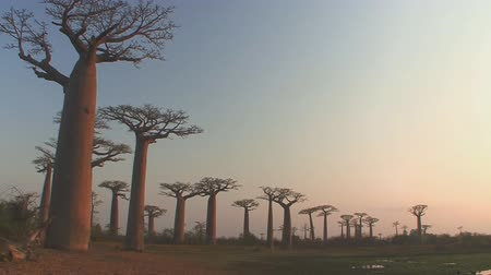 savanne : Bäume Baobabs in Madagaskar