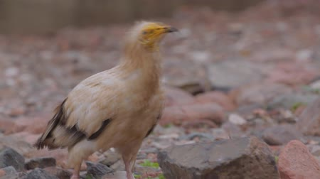 yemen : Egyptian vulture (Neophron Percnopterus) closeup. Stock Footage