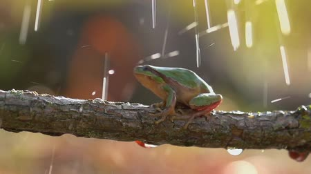 kurbağa : The tree frog crawls on a branch in the rain. (Slow motion)