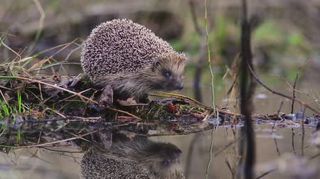 еж : Hedgehog near the pond. Стоковые видеозаписи
