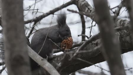 gnaw : Black squirrel Sciurus niger gnawing a cone on a tree. (close-up)