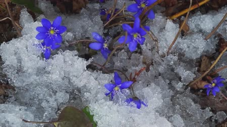 krokus : Wild flowers in the forest. time-lapse