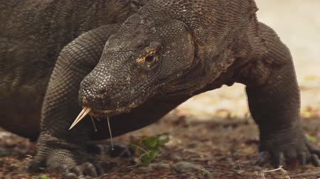 alarmed : Komodo Dragon close-up (slow-motion)