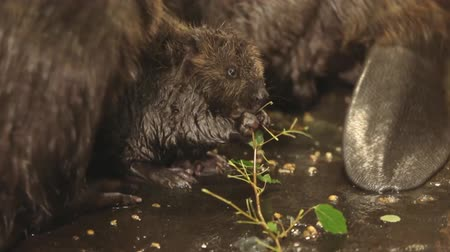 myocastor : A family of beavers and their cubs (close-up)