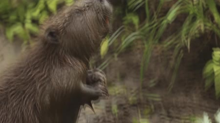 myocastor : Beaver on the river bank close-up. Stock Footage