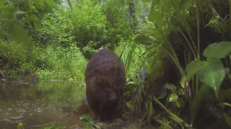 zvědavý : Beaver on the river bank close-up. Dostupné videozáznamy