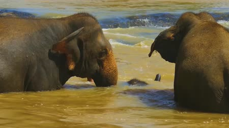 yaban kedisi : A family of elephants bathing in the river. (East Africa, Uganda)