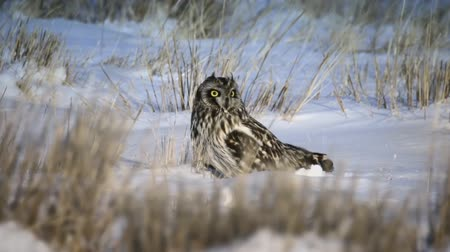 tampado : Owl, in the winter in the steppe. (Siberia) Vídeos