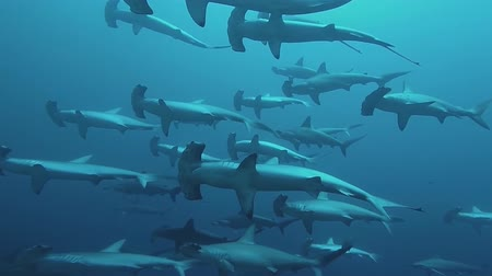 hammerhead : pack of sharks underwater hammerhead
