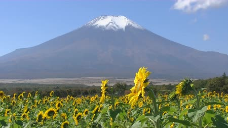 mt : Sunflower field on the background of Mount Fuji in Japan Stock Footage