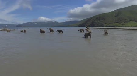 dravec : Peninsula of Kamchatka, Russia. Kamchatka brown bears catches fish