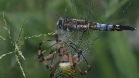 libélula : The spider has caught a dragonfly in the web