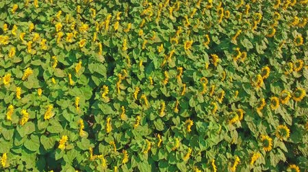 sunflower : View of the sunflower field from above