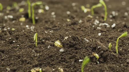 nurture : germination of plant seeds (time-lapse) Stock Footage
