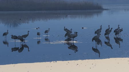stopping : a flock of cranes on lake