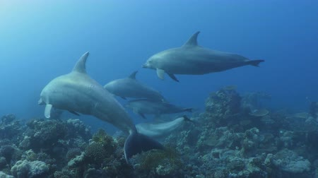 água salgada : the Caribbean Sea, dolphins swim under water. Stock Footage