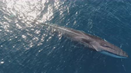 ポッド : whales swim in deep ocean waters - (aerial photography)