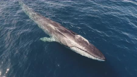 wieloryb : whales swim in deep ocean waters - (aerial photography)