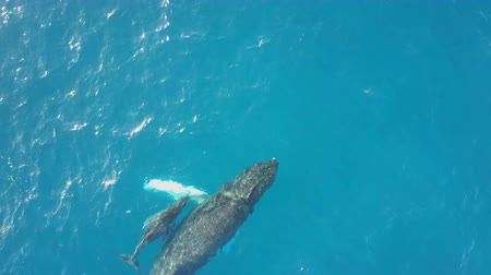 whales swim in deep ocean waters - (aerial photography)