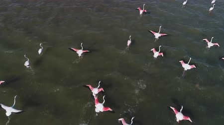 Lake Nakuru in Kenya, a flock of pink flamingos (aerial photography)