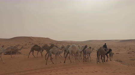 サハラ : a herd of camels in the Arab desert goes along the road