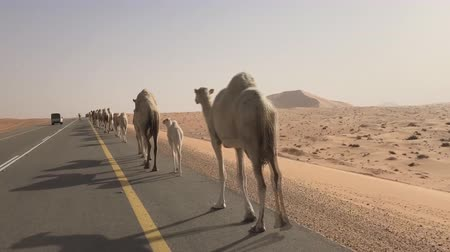 a herd of camels in the Arab desert goes along the road
